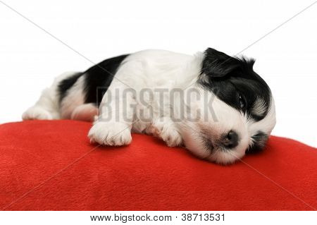 Cute Sleeping Havanese Puppy