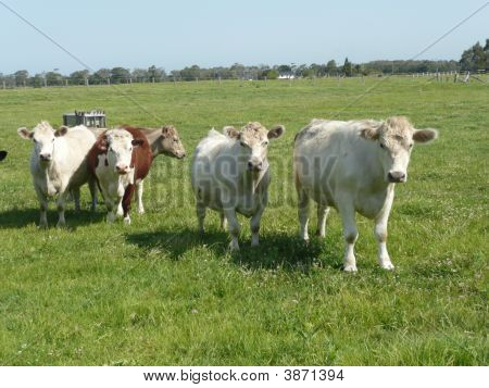 Group Of Cows In A Paddock On A Farm Near Sth. West Rocks.