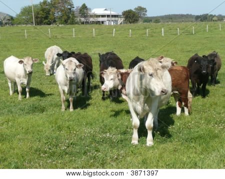 A Group Of Cows On A Farm On The Macleay River.