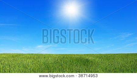 Early summer corn with a blue sky background
