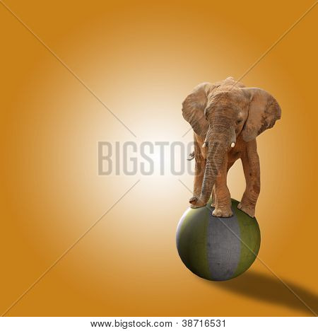 Elephant Standing On Ball On Orange Background