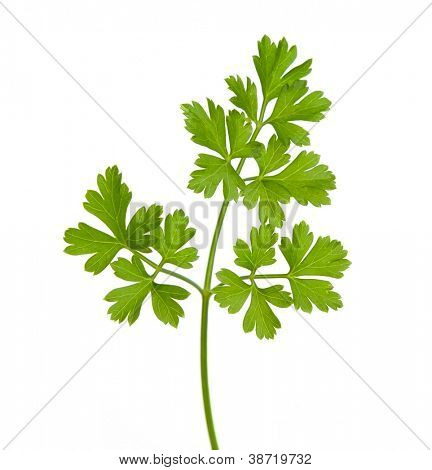 parsley isolated on a white background.