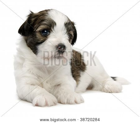 Cute Little Sable Havanese Puppy