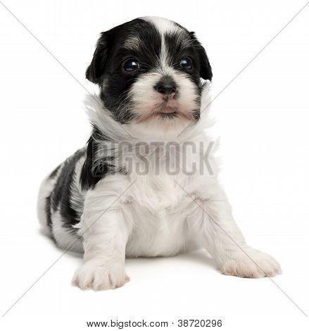 Lindo perrito Bichón Habanero