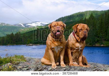 Dogue De Bordeaux couple against summer Norvegian landscape