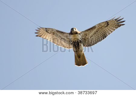 Immature Red-tailed Hawk Making Eye Contact