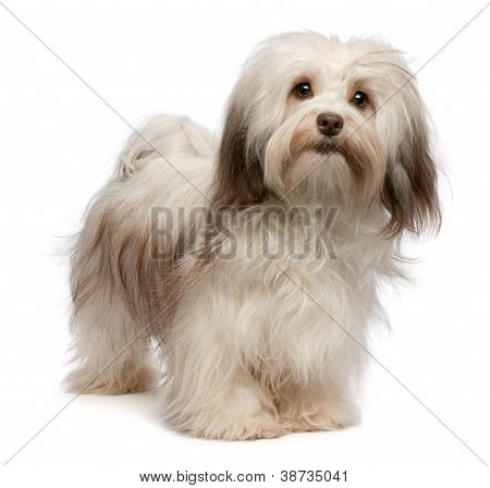 Beautiful Chocolate Havanese Dog