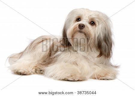 Beautiful Lying Chocolate Havanese Dog