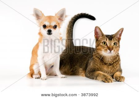 Puppy Chihuahua With A Cat