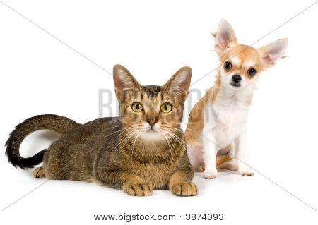 The Puppy Chihuahua And Cat In Studio On A Neutral Background