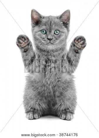 kleine Britse kitten op de witte achtergrond