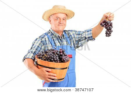 A vintner holding a basket full of blue wine grapes isolated on white background