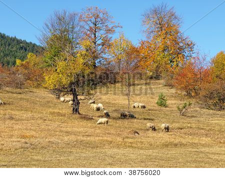 Herd of sheep on beautiful mountain autumn meadow