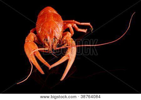 Tasty boiled crayfish isolated on black