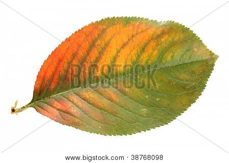 bright autumn leaf, isolated on white