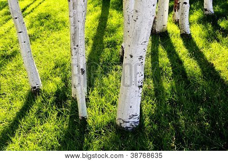 Several white aspen trees with dark shadows and green grass