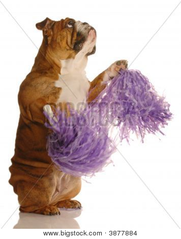 Bulldog With Pompoms