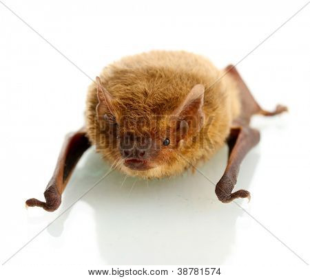 small bat, isolated on white.