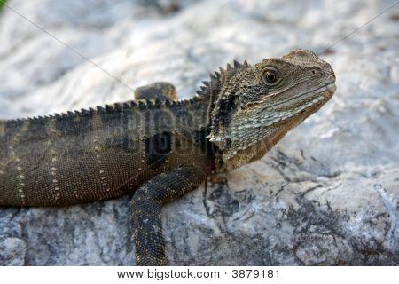 Lizard Looks Right