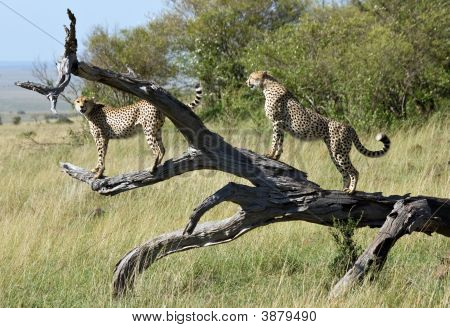 2 Male Cheetah Brothers Posing On A Fallen Tree