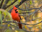 image of cardinal-bird  - A male northern cardinal perching on a branch with fall coulour background - JPG