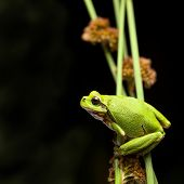 tree frog crawling in vegetation at night, European treefrog Hyla arborea, an endangered amphibian s