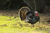 Turkey Tom Strutting