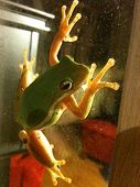 picture of glass frog  - A green frog on the glass window - JPG