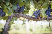 picture of merlot  - Vineyard with Lush - JPG