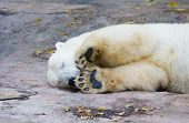 pic of polar bears  - The polar bear living in territory of a zoo - JPG