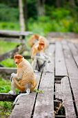 Proboscis monkeys on Borneo island in Malaysia