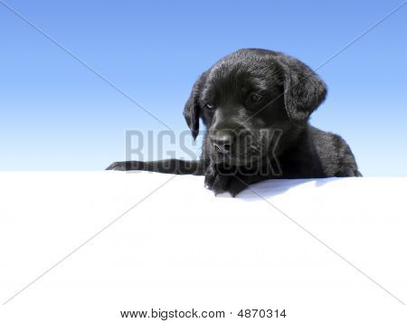 Lab Puppy Looking Down Over Blue Gradient With Copy Space