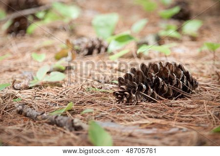 Pine Cone In The Wilderness