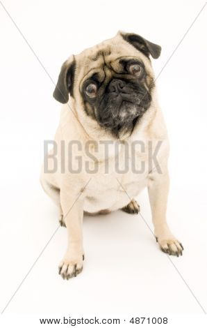 Cute Pug Sitting Down