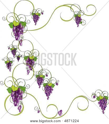 Bunch Of Grapes On Vine