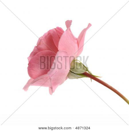 Mothers Day Pink Rose Flower