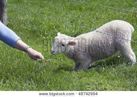 Lamb, Grazing