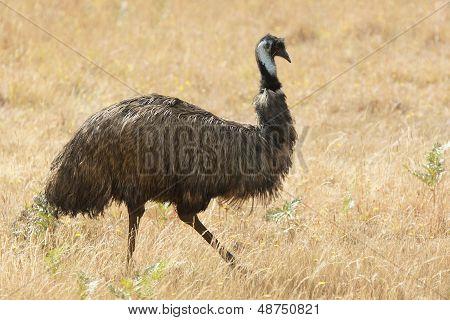 Emu, Tasmania, Australia