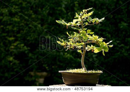 Bonsai tree in bright sunlight, with space for your text.