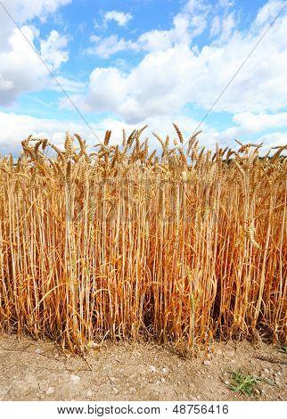 Ripe Common wheat - Bread Wheat (Triticum aestivum) .
