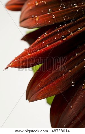 Water Droplets On A Red Sunflower
