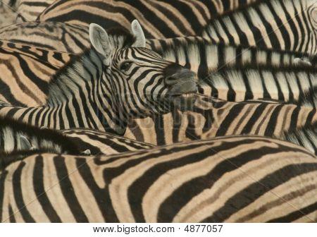 Paisagem de zebra