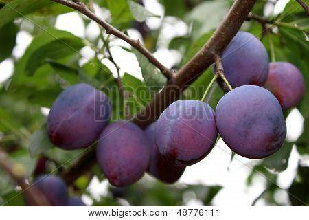 Plum-tree Branch