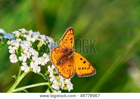 Butterfly Sits On White Flowers