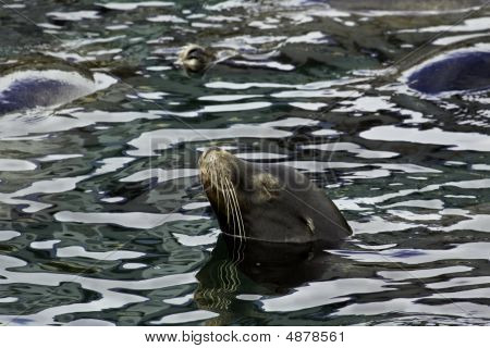 California Sea Lion (zalophus Californianus) In Monterey Bay