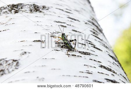 Grasshopper Podisma (sub) Alpina