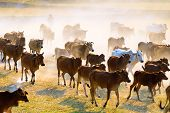 stock photo of track home  - Cows going home in the dust at the end of day Vietnam and Cambodia border - JPG
