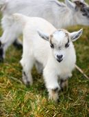 stock photo of baby goat  - portrait of a small baby goat - JPG