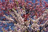 Different Shades Of Pink Sakura Blossom In Tokyo