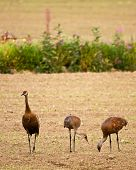 Three Cranes in Field